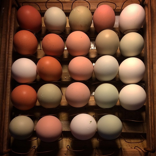 6 chickens may be a bit much... 2 dozen eggs in 5 days!